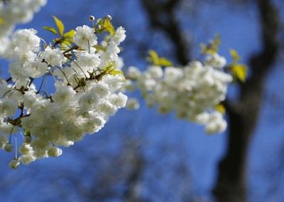 White blossoms (Summer)